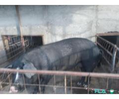 Bazna de vanzare cu greutate de aproximativ 150 kg