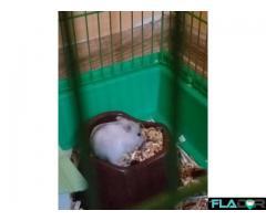 Pui hamster pitic siberian