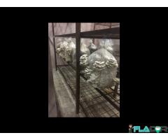 Compost pleurotus (vind) 20 lei