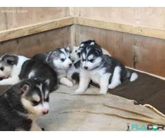 Ochi albaștri Cățeluși husky siberieni