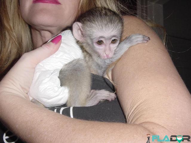 Maimuțe de cimpanzeu, capucin, veveriță, păianjen și marmoset - 1/4