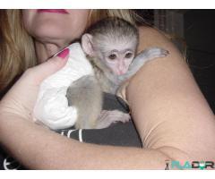 Maimuțe de cimpanzeu, capucin, veveriță, păianjen și marmoset - Imagine 1/4