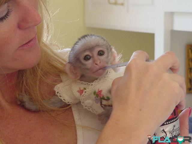 Maimuțe de cimpanzeu, capucin, veveriță, păianjen și marmoset - 2/4