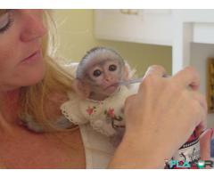 Maimuțe de cimpanzeu, capucin, veveriță, păianjen și marmoset - Imagine 2/4