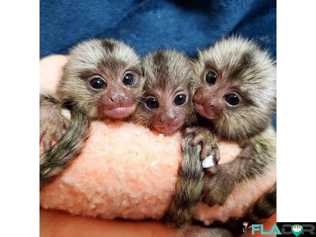 Maimuțe de cimpanzeu, capucin, veveriță, păianjen și marmoset - 3/4