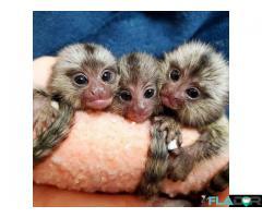 Maimuțe de cimpanzeu, capucin, veveriță, păianjen și marmoset - Imagine 3/4