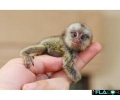Maimuțe de cimpanzeu, capucin, veveriță, păianjen și marmoset - Imagine 4/4