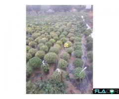 Crizanteme de vînzare