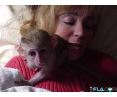 Maimuțe capucine capturate pentru adopție gratuită